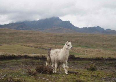 Lama sur volcan Cotopaxi Equateur