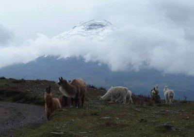 Lamas devant volcan Cotopaxi Equateur