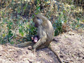 Le romantique parc Manyara en Tanzanie