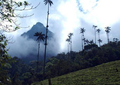 Palmiers de Cocora Colombie