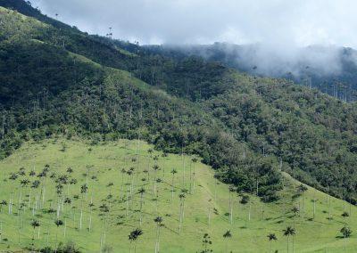 Palmiers vallée de Cocora Colombie