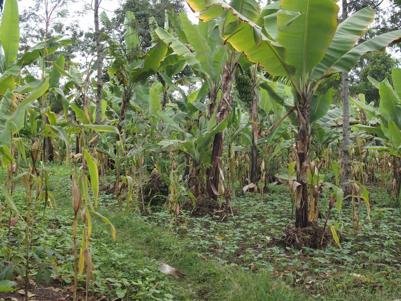 Bananeraie Ngurdoto Tanzanie