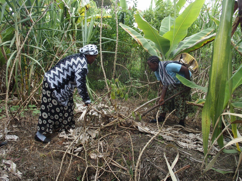 Déracinement racine de manioc Ngurdoto Tanzanie
