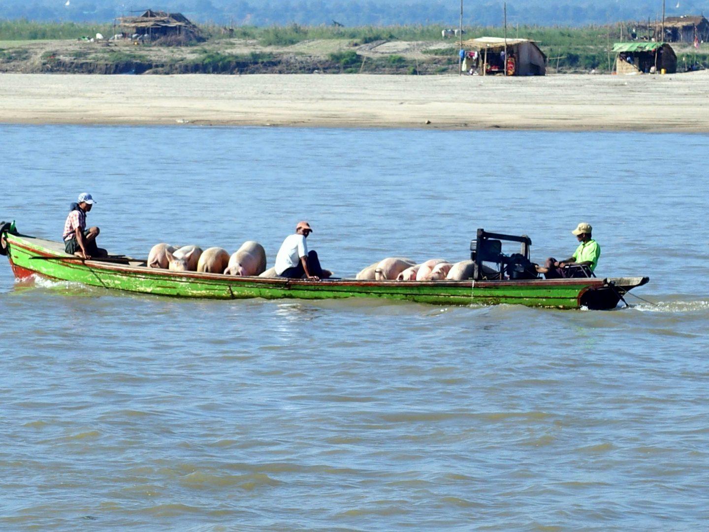 Transport cochons Irrawadi Mingun Birmanie