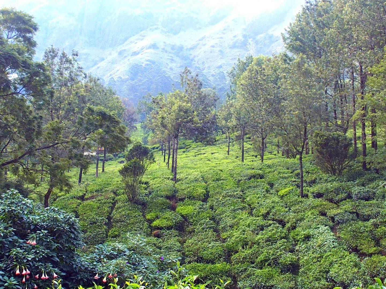Bosquets de thé Munnar Kerala Inde
