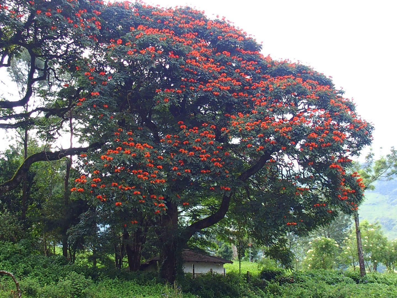 Flamboyant-Kerala-Inde