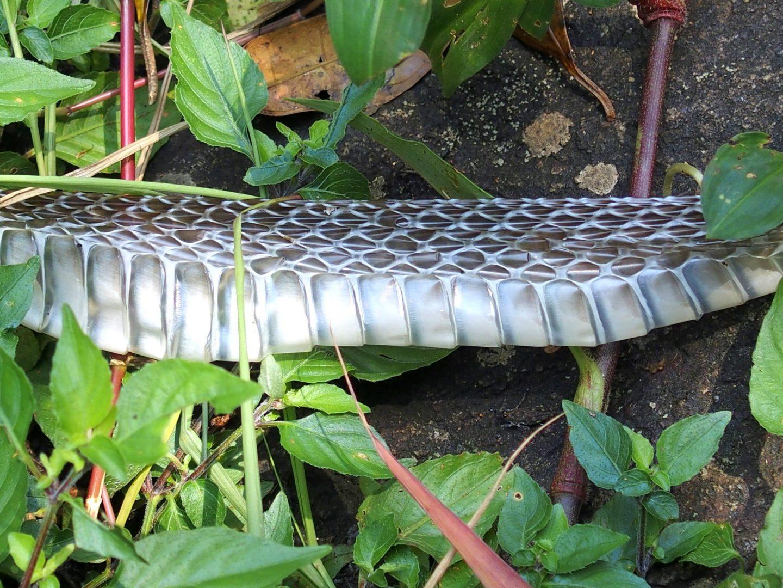 Peau de serpent Kerala Inde