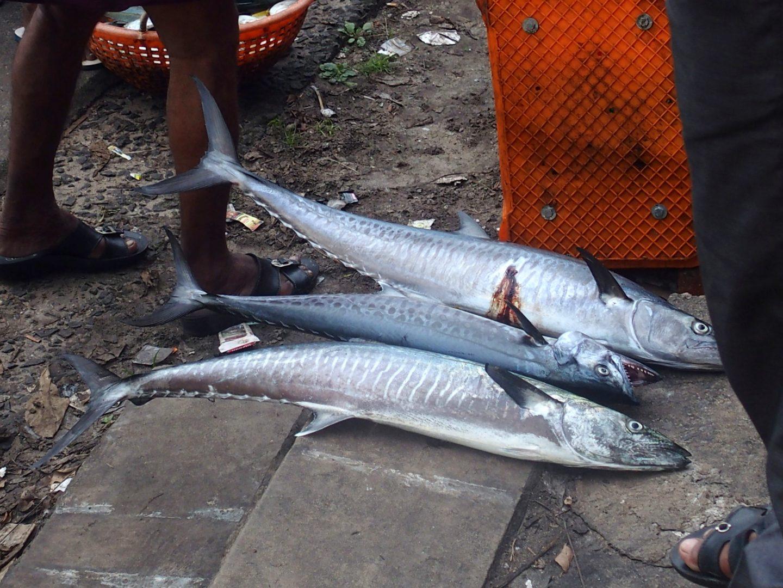 Retour de pêche Cochin Kerala Inde