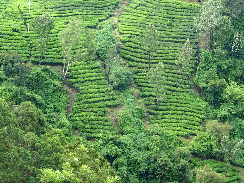 Terrasses de thé Munnar Kerala Inde