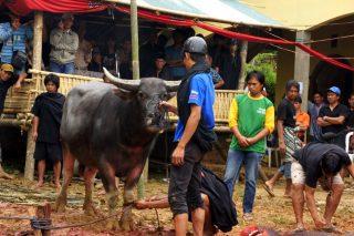 Rites funéraires sur l'île de Sulawesi et combats de coqs dans le pays Toraja
