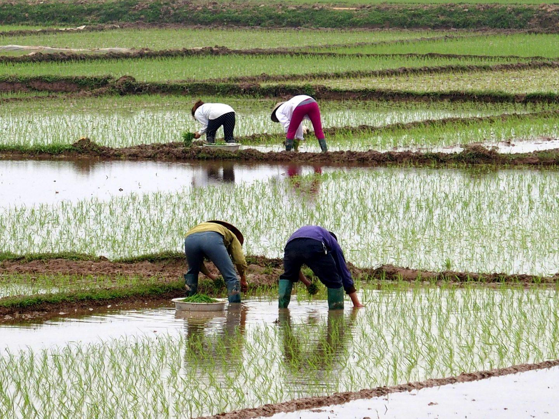 Cultivateurs qui repiquent le riz Vietnam