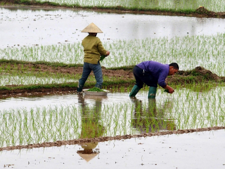 Travail repiquage de riz Vietnam