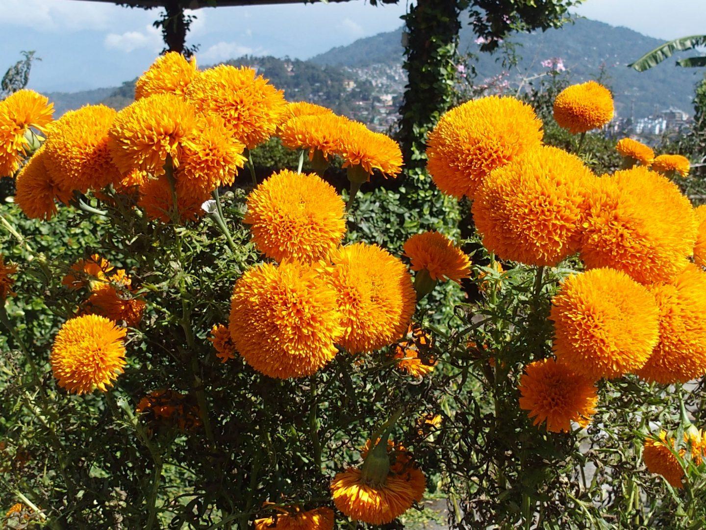 Oeillets d'inde Kalimpong