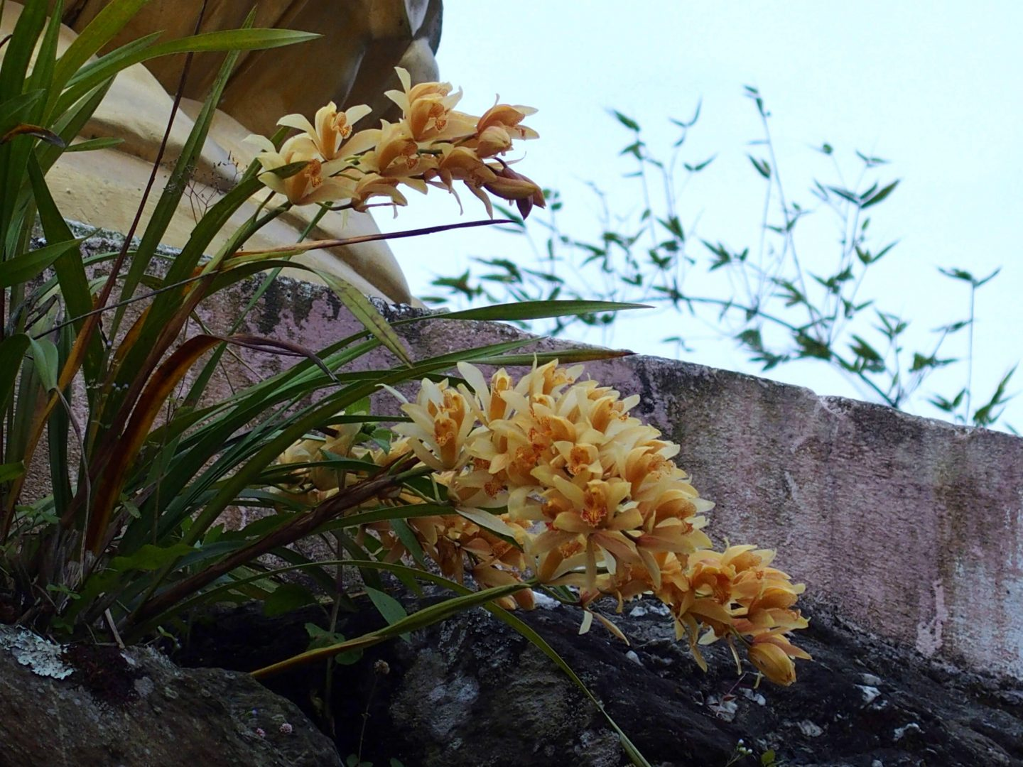 Orchidées sauvages Kalimpong Inde
