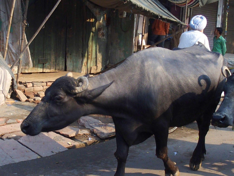 Vaches dans les rues Old Delhi Inde