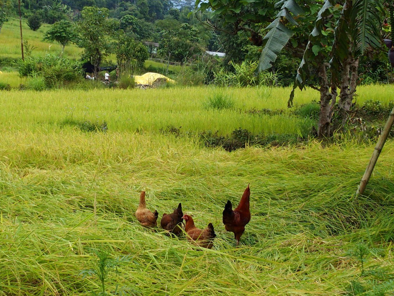 Vie rurale à Kalimpong Inde