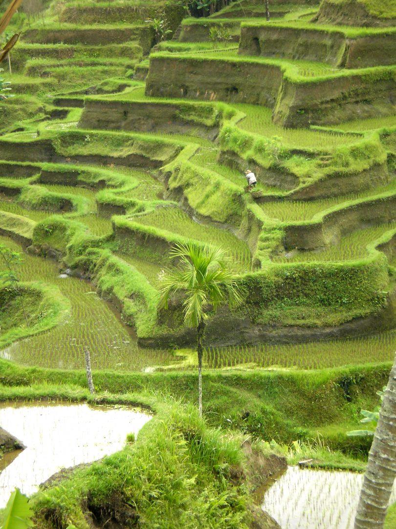 Belles rizières en terrasses Jatiluwih Bali