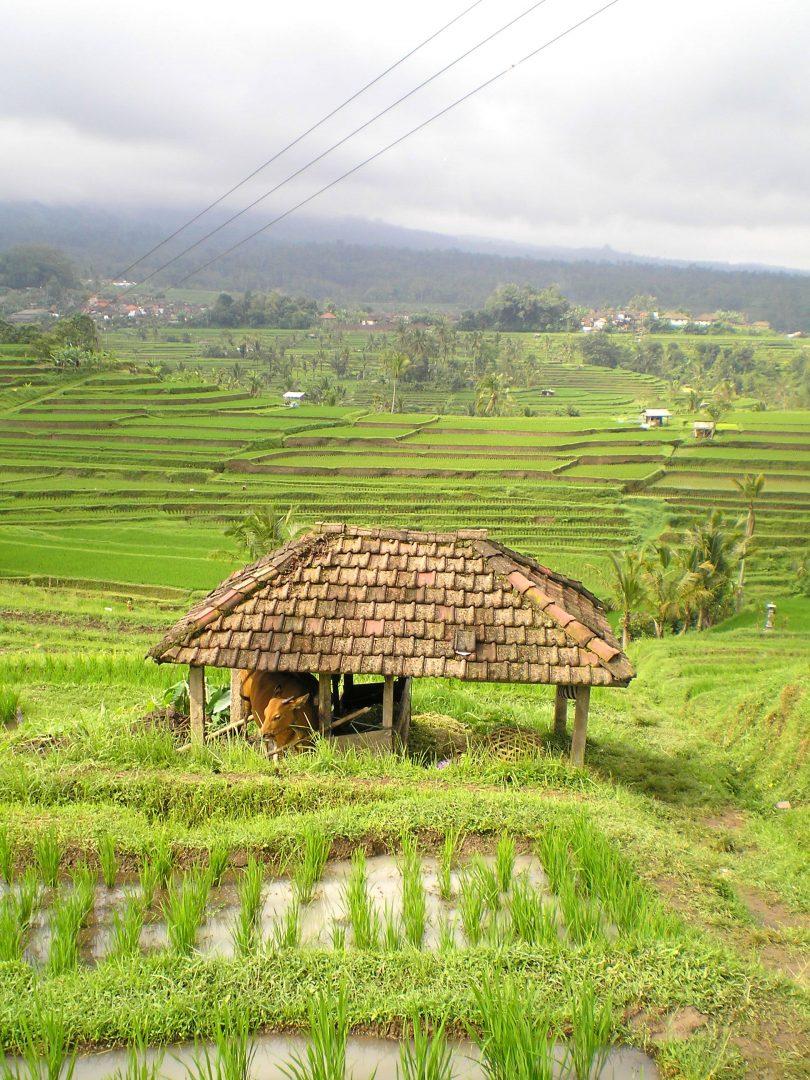 Etable dans les rizières à Bali