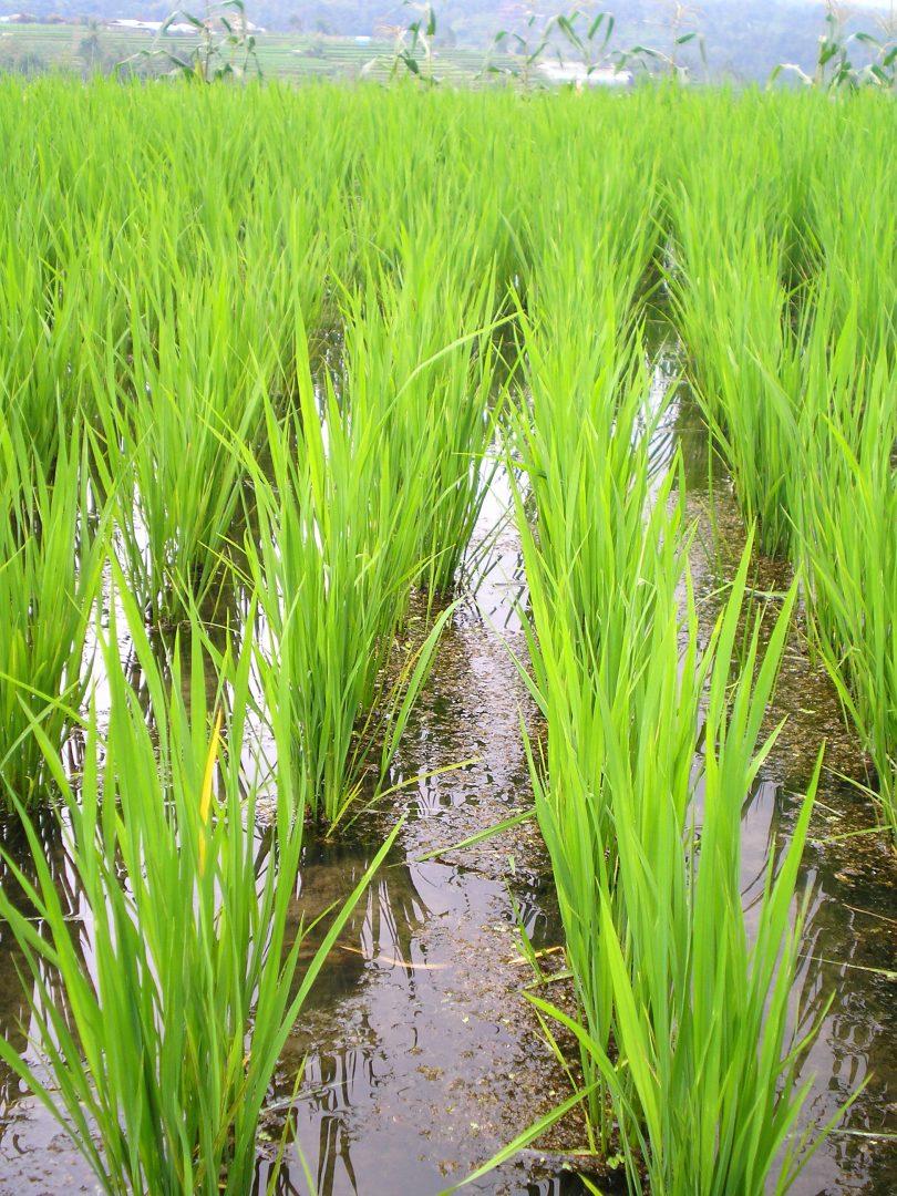Pousses de riz Bali