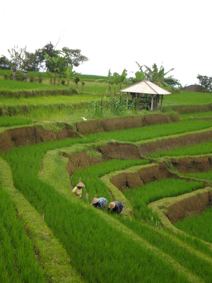 Travail dans rizières Jatiluwih Bali