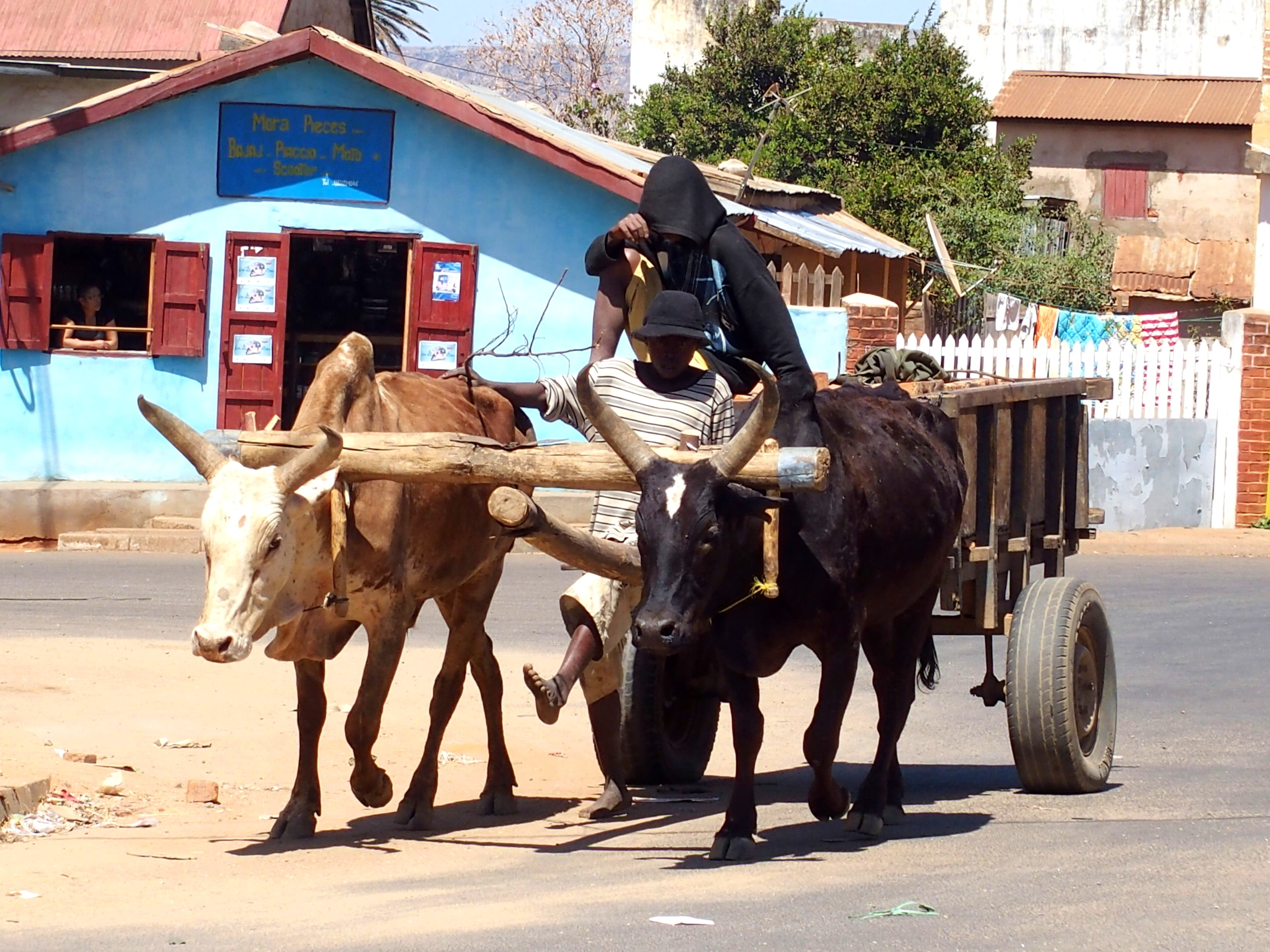 Charette-à-zébus-Madagascar