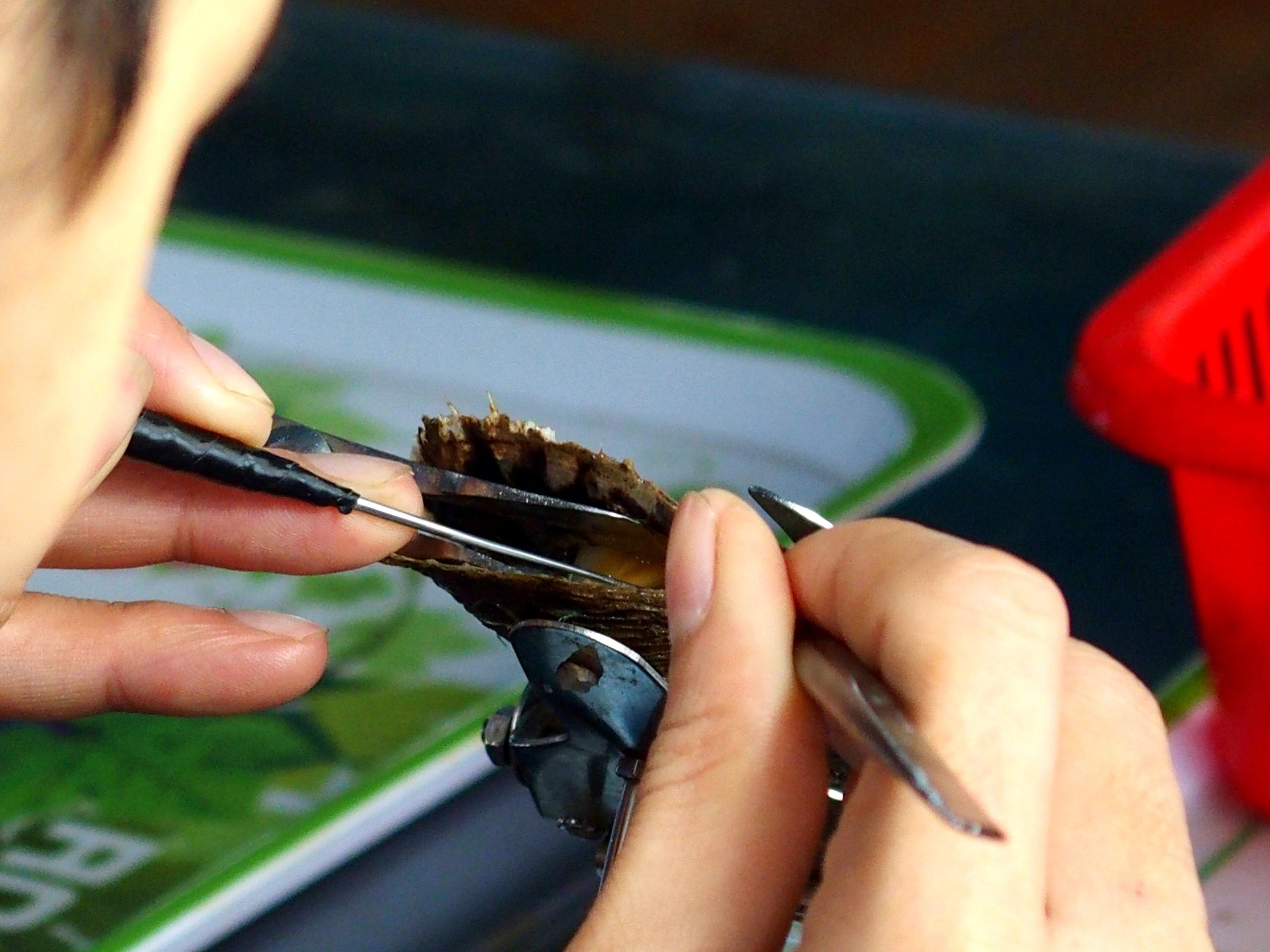 Examen greffon huitre perlière baie d'Halong souvenirs du Vietnam