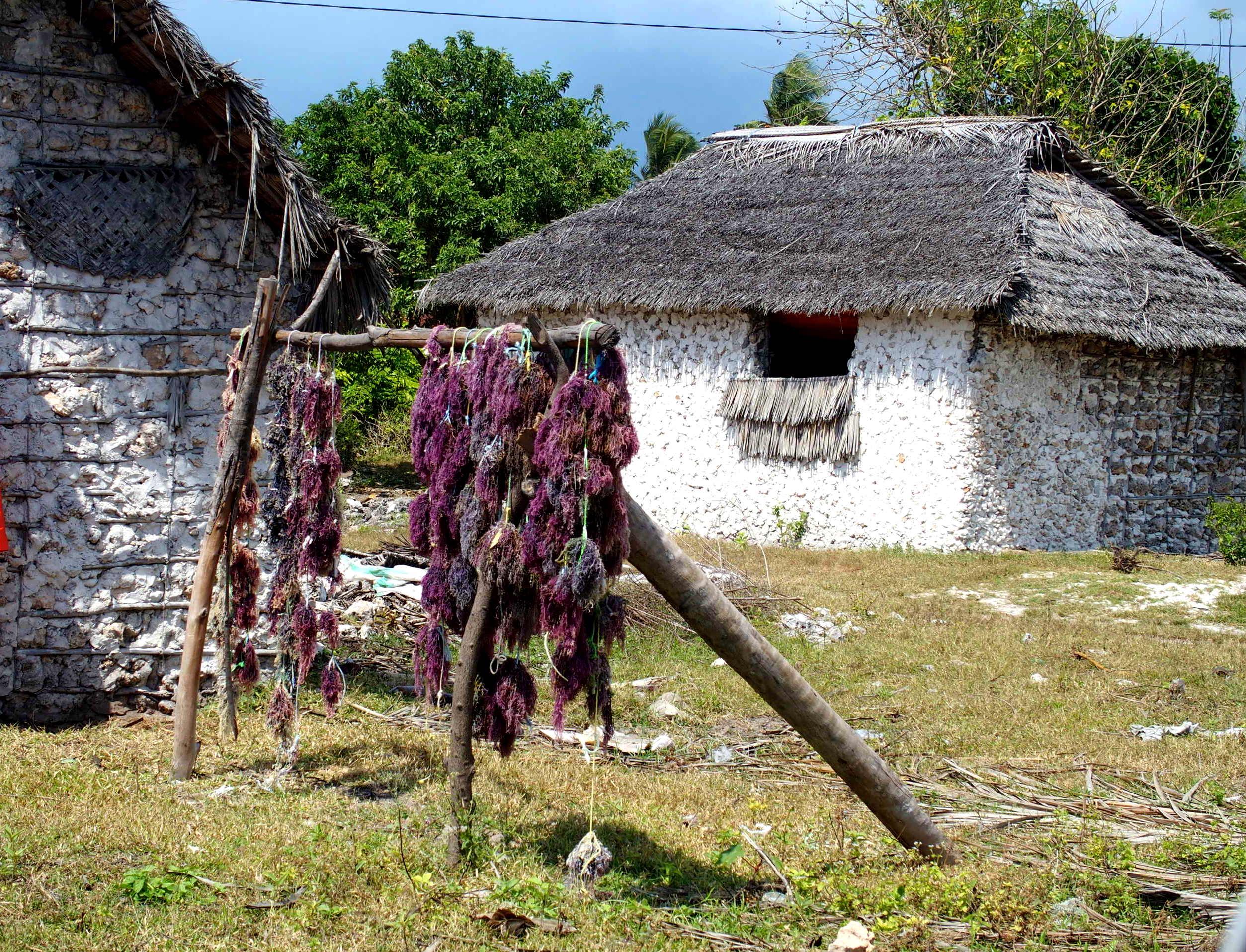 Algues qui sèchent dans le village