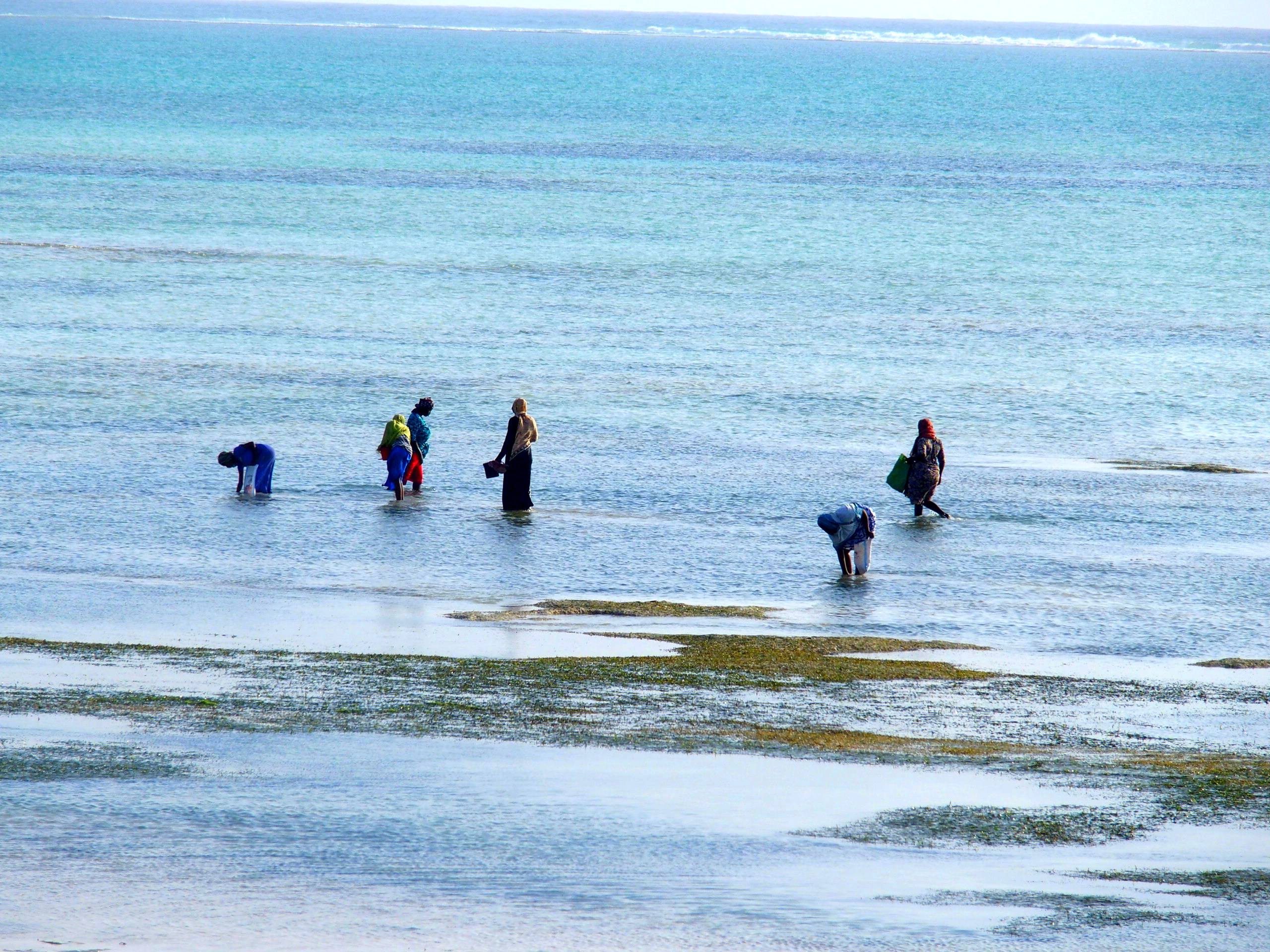 Ramasseuses d'algues au travail Pongwe Zanzibar