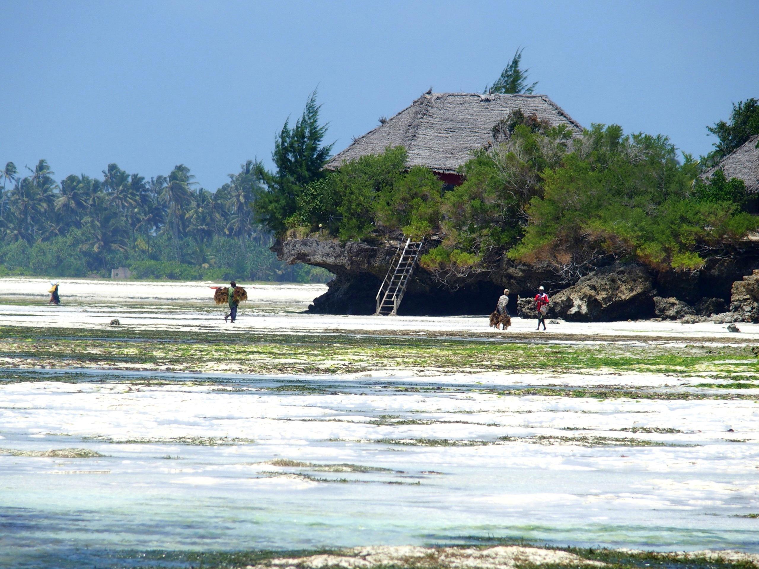 Retour de cueillette des algues à larrière de lhotel Seasons lodge Zanzibar