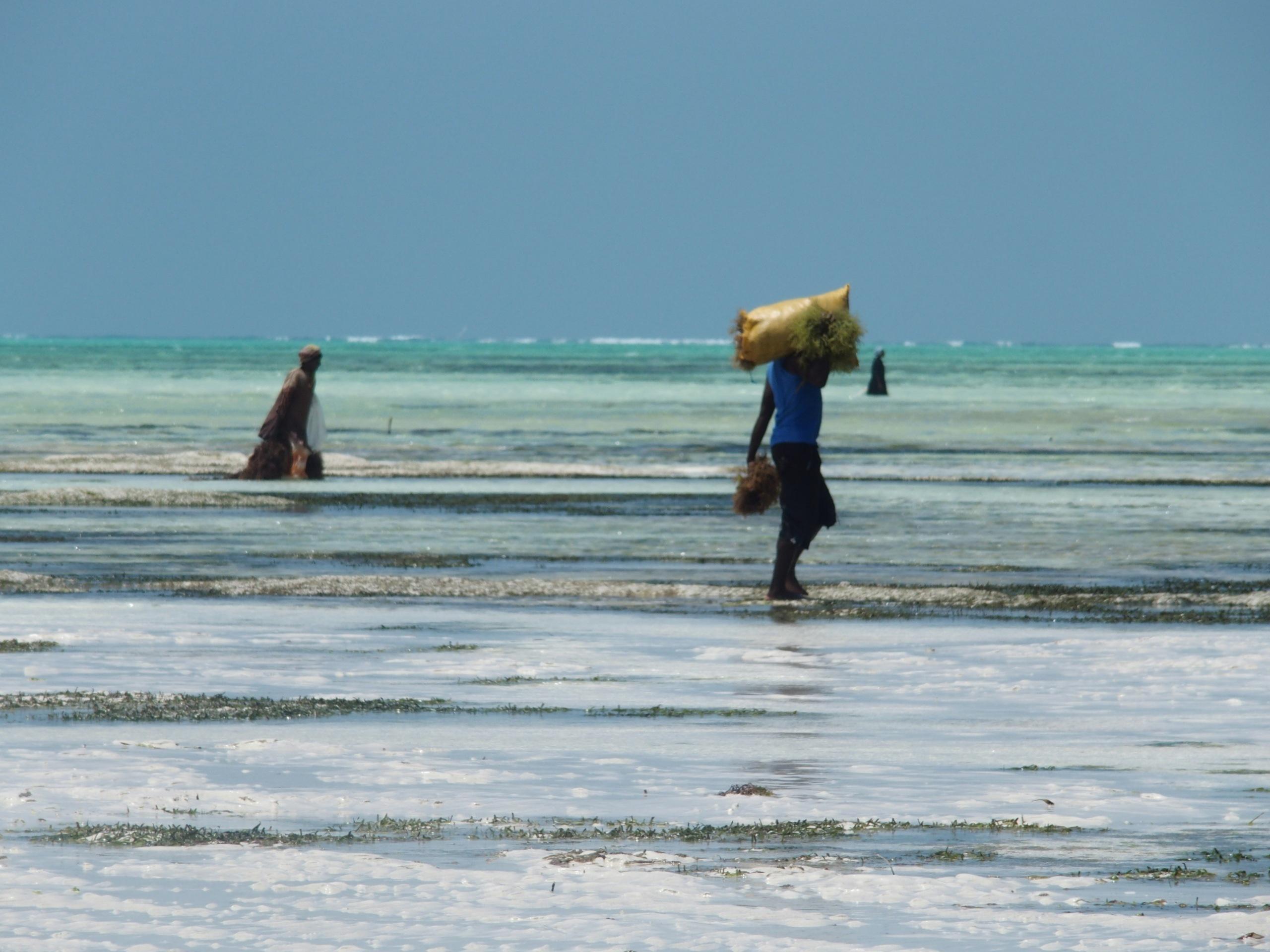 Sacs dalgues en fin de collecte Pongwe Zanzibar