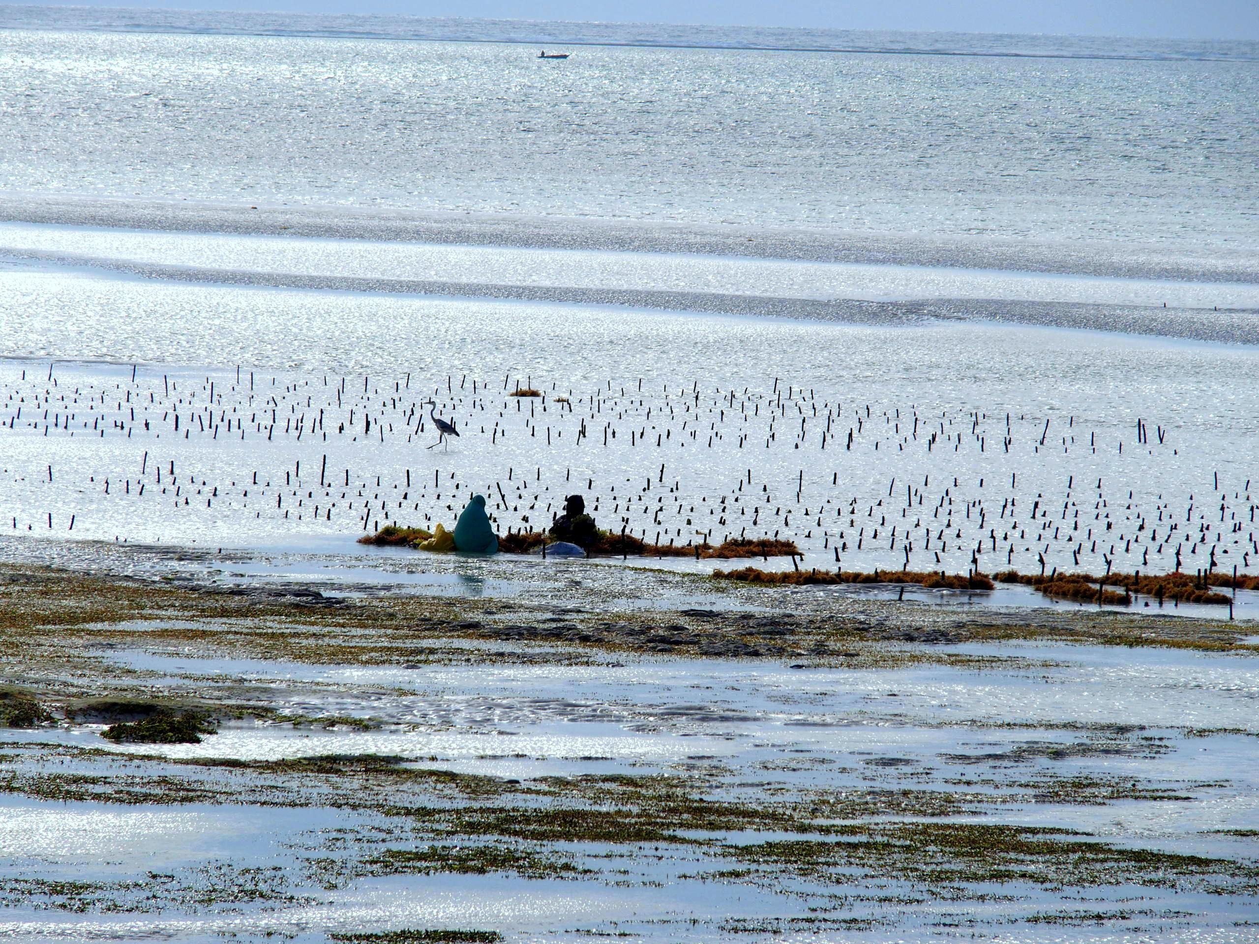 Travail des femmes entre les algues et les hérons Pongwe Zanzibar