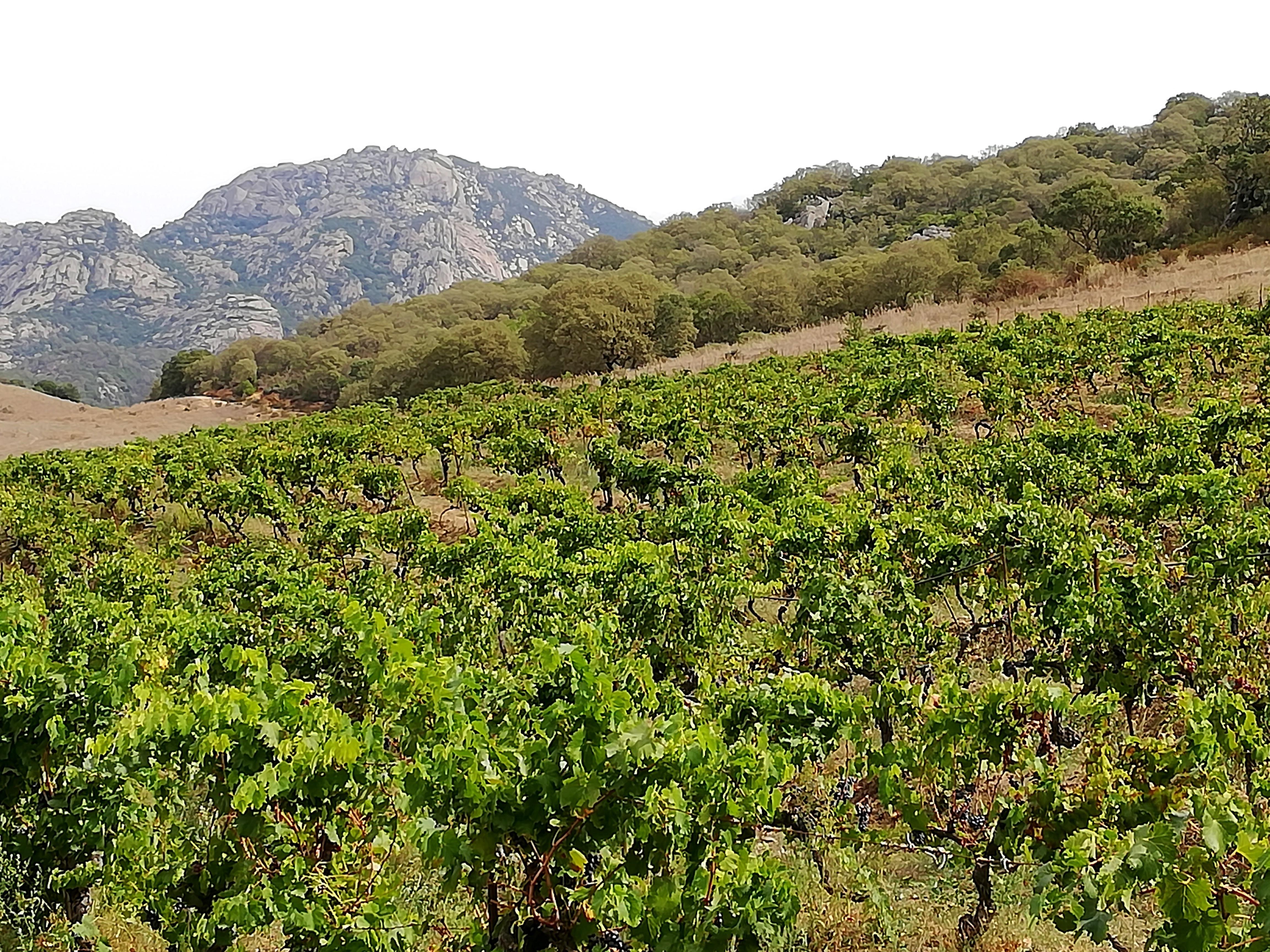 Vignes dans la région de Sartène en Corse