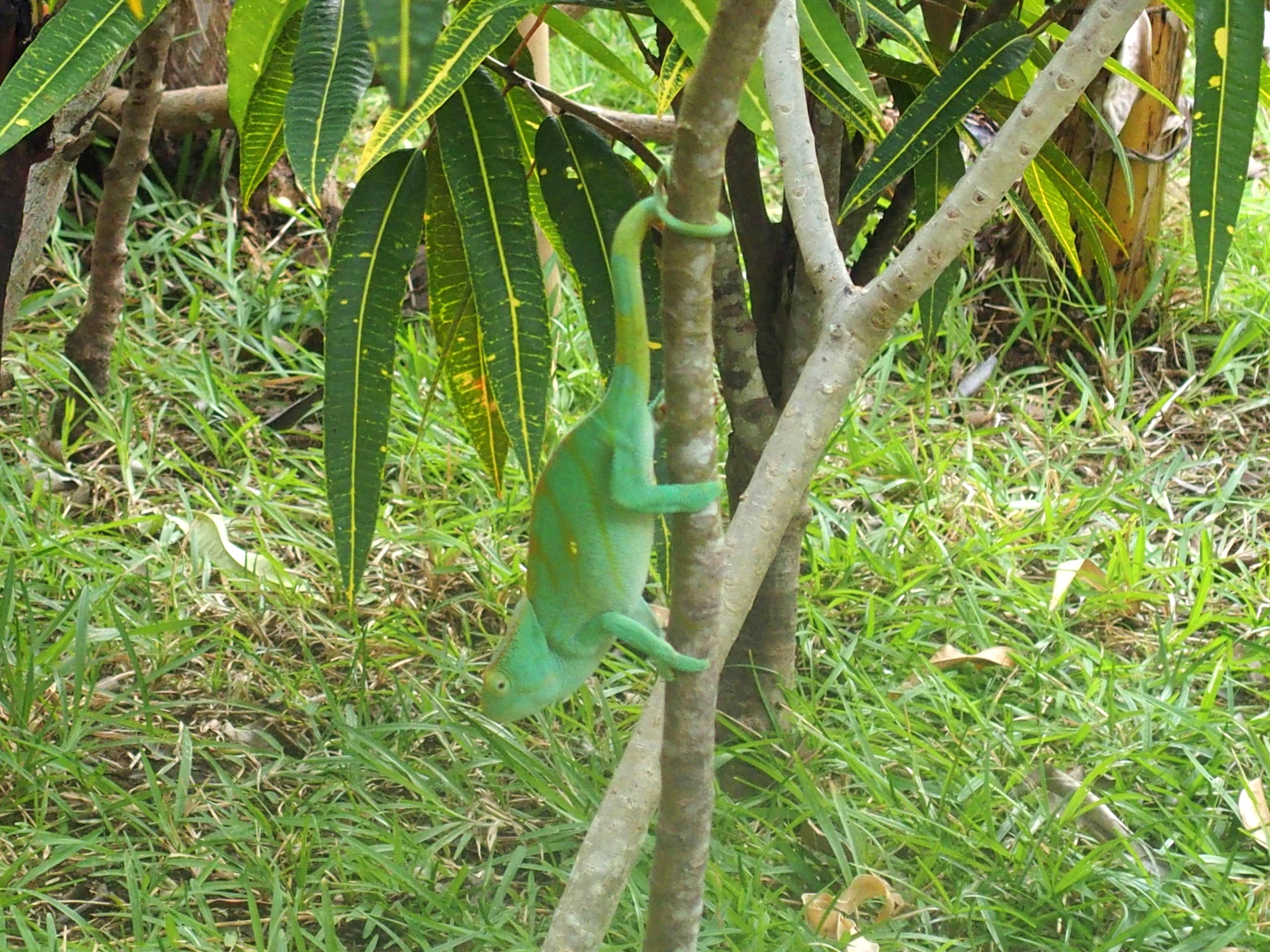 Caméléon-dans-arbre-Nosy-Be-Madagascar