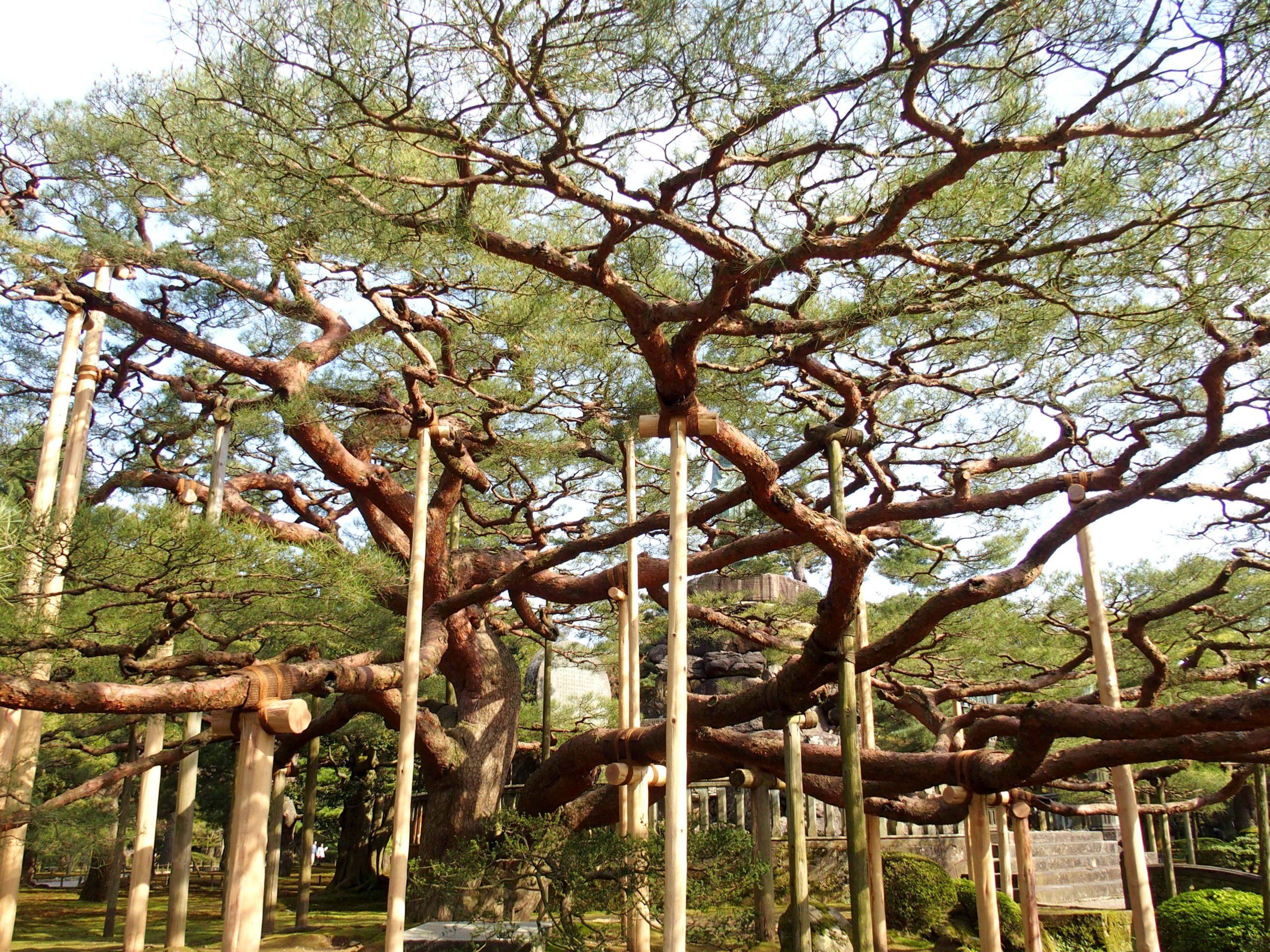 Arbres soutenus par béquilles dans jardin Kenrokuen Kanazawa Japon