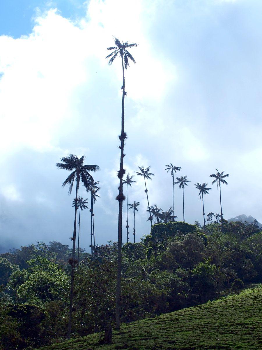Bouquet de palmiers à cire vallée de Cocora Salento Colombie
