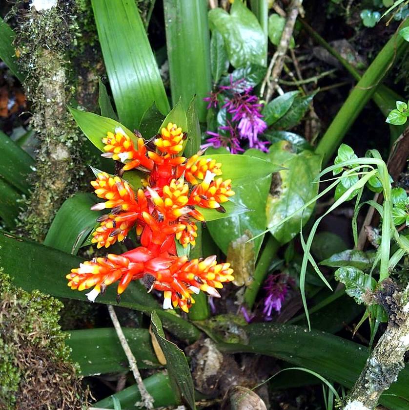 Orchidées sauvages vallée de Cocora Salento Colombie.