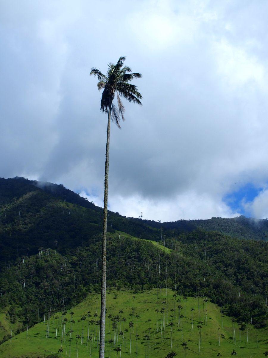 Palmier à cire vallée de Cocora Salento