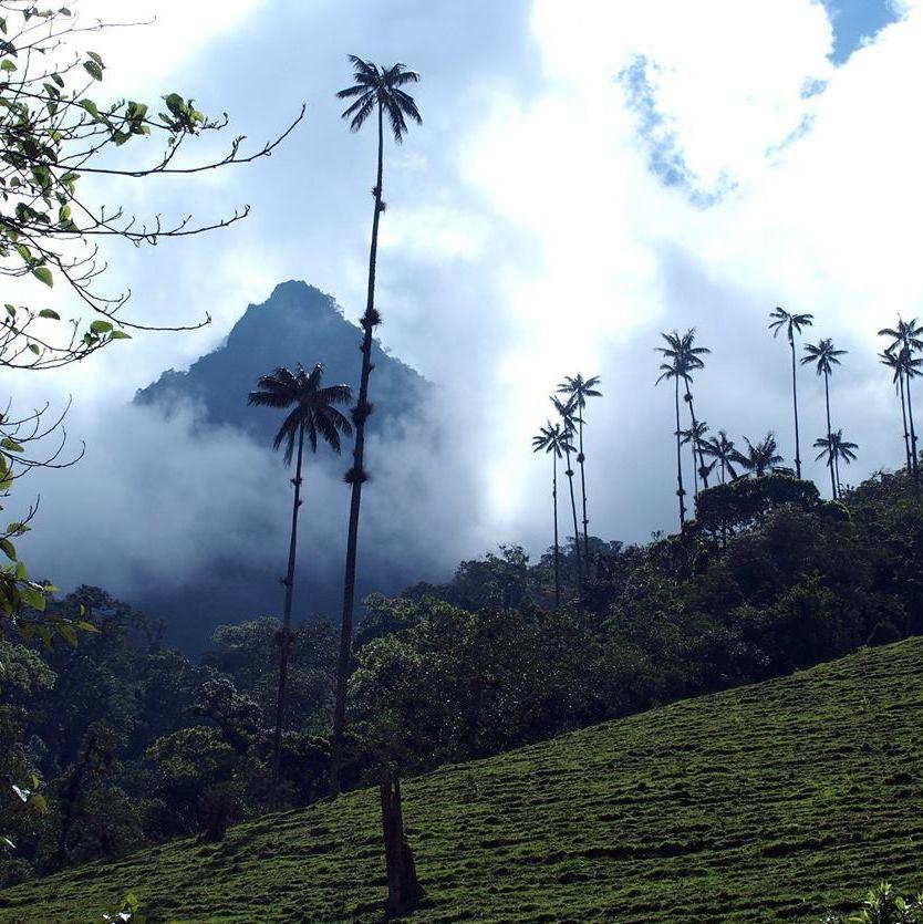 Palmiers à cire de la vallée de Cocora dans les nuages