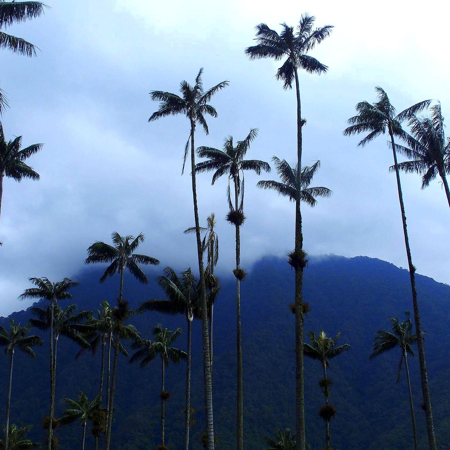 Palmiers géants dans vallée de Cocora Salento