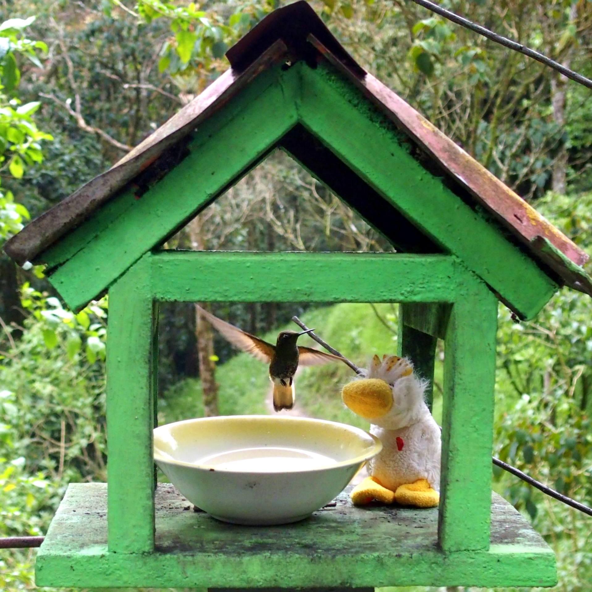 Colibri et Couinn-Couinn dans la vallée de Cocora à Salento Colombie